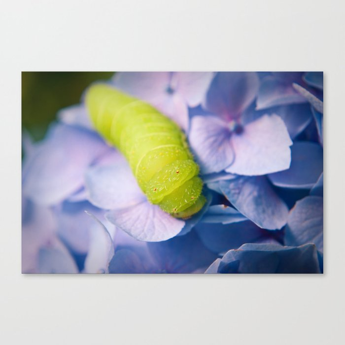 Actias Luna Larva on Hydrangea Nature Photo Canvas Print
