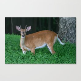 Whitetailed Deer In Velvet Canvas Print