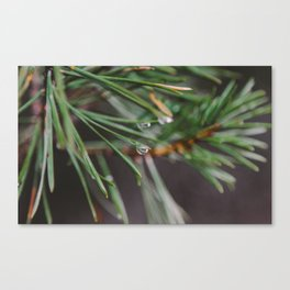 Pine Water Droplet Canvas Print