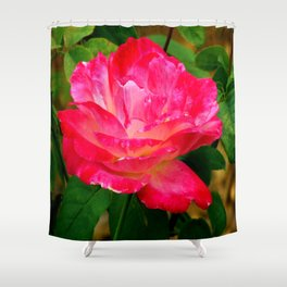 deep pink and white rose Shower Curtain