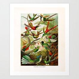 Vintage Hummingbird Illustration Art Print
