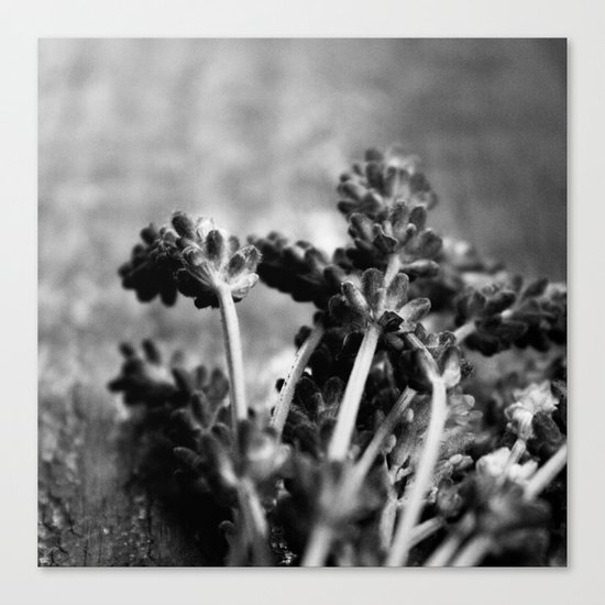 Lavender (Black & White) Canvas Print