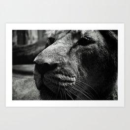 Unenthusiastic Lion Art Print