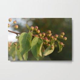Sunlit Apple Tree (Photography: In the Garden) Metal Print