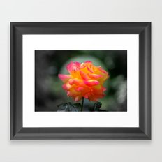 Rose 2138 Framed Art Print