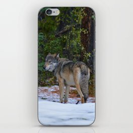 Wolf in Jasper National Park iPhone Skin