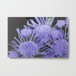 Ageratum blooms Metal Print