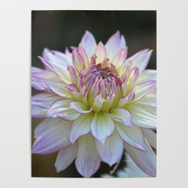 Colorful Dahlia Flower Bloom Poster