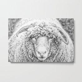 Nosey Sheep. Metal Print