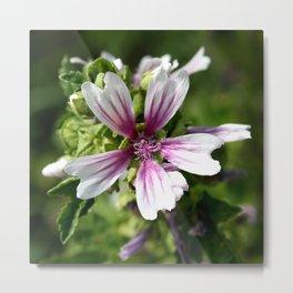 Zebra Mallow Flower Metal Print