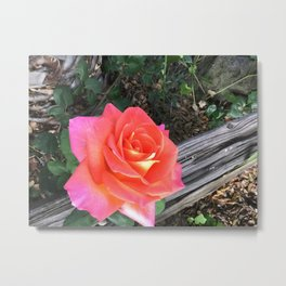 Rose On a fence Metal Print