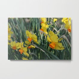 Daffodil 'Triller' Metal Print