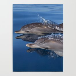 Beautiful Spotted dolphins Stenella frontalis Poster