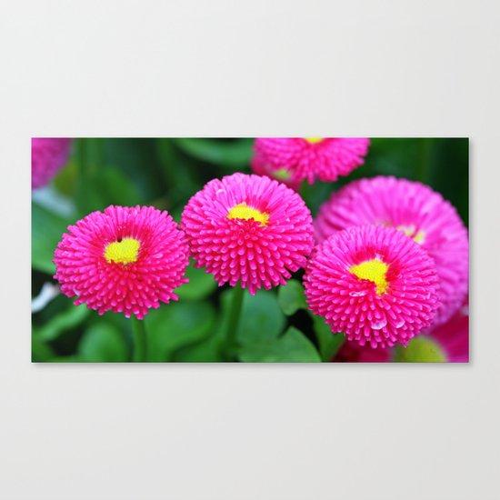 Pink bellis Canvas Print