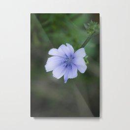 Chicory Metal Print