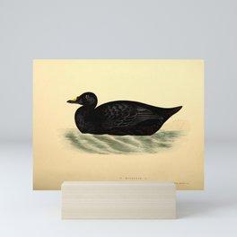 Common Scoter Mini Art Print