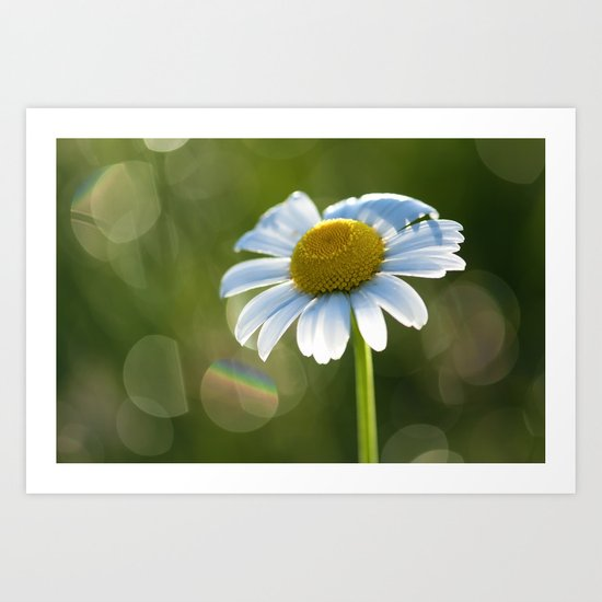 Daisy after rain at backlight Art Print