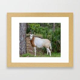 Scimitar Horned Oryx Framed Art Print