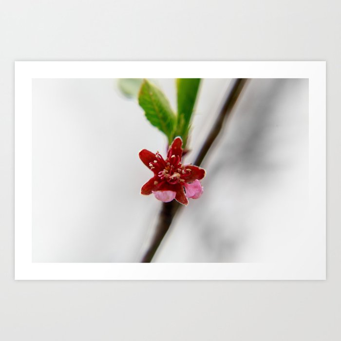 Red peach blossom Art Print