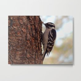 Suet little woodpecker Metal Print