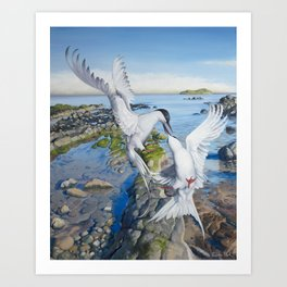 Playful Arctic Terns in North Berwick Art Print