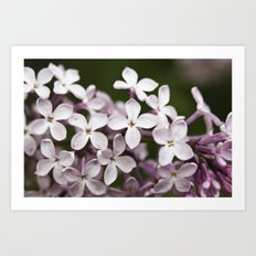 Lilac blossoms Art Print