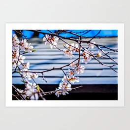 Delicate Flowers Of A Japanese Apricot Tree Against The Garden Pavilion Roof Art Print