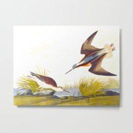 Wilson's Phalarope Bird Metal Print