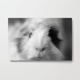 a fluffy guinea pig Metal Print
