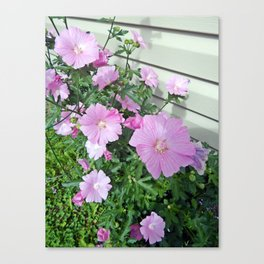 Pink Musk Mallow Bush in Bloom Canvas Print