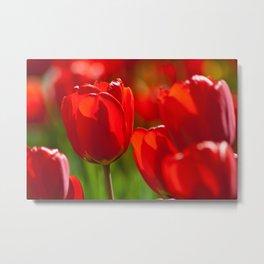 red tulips in sunlight Metal Print