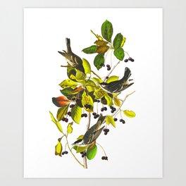 Blackpoll Warbler Bird Art Print