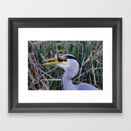 Grey Heron with fish Framed Art Print