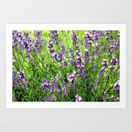 Lavender Plant Art Print