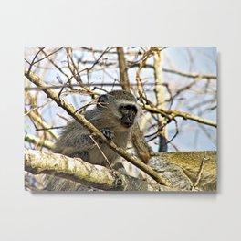Cute Velvet Monkey on Tree Metal Print