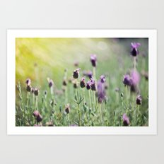 lavender in summer light Art Print