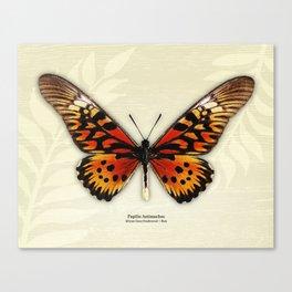 Butterfly14_Papilio Antimachus • male1 Canvas Print