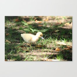 Baby Duckling strolling on a lawn Canvas Print