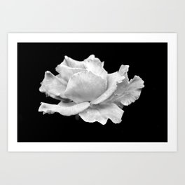 White Rose On Black Art Print