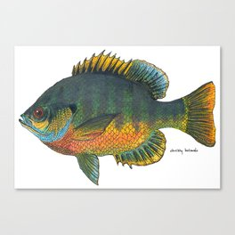 Blue Gill (in-color) Canvas Print