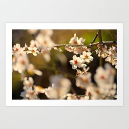 Winter spring. Almond flowers Art Print