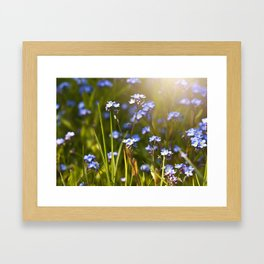 Forget me not flowers in sunlight Framed Art Print