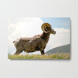Bighorn Sheep On Humboldt Peak, Colorado Metal Print