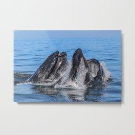 Humpback Whale Lunge Feed Metal Print