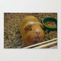 guinea pig Canvas Prints featuring Guinea Pig by a person