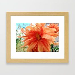 Late Bloom Framed Art Print