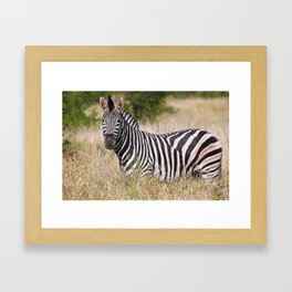 Zebra in the grass - Africa wildlife Framed Art Print