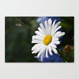 White Daisy Flower Loves Me Loves Me Not Canvas Print