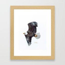 Eagle soaring Framed Art Print