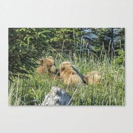 Triplet Bear Cubs Nursing, No. 1 Canvas Print